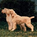 Ideal Spinone?